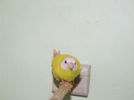 papagajamandina.jpg
